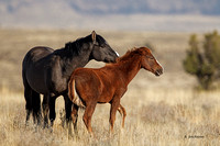 Wild Horses Male and Mare Steens Mtn, Oregon